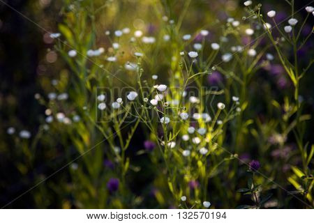 Wildflowers on a meadow in the dark of evening or night. Green purple white colorful background. Shallow focus defocused