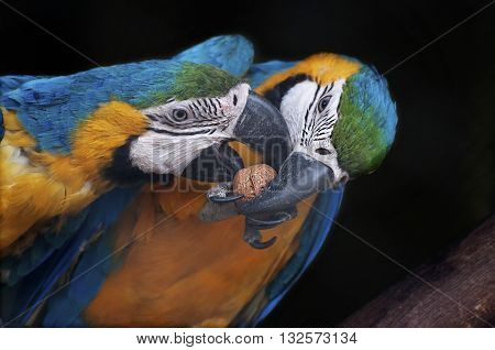 Beautiful pair of Blue and yellow Macaw also known as Blue and gold macaw Ara araraunatrying to crack a nut together. It is one of the most colourful parrot bird's in the world stock image India.