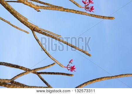 Plumeria flower against blue sky, nature background