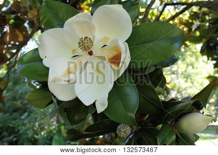 Large southern magnolia bloom with second bud.