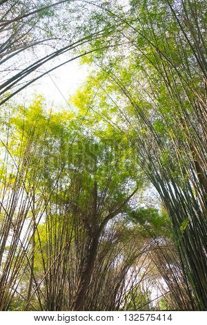 Stand of bamboo trees, for  nature background