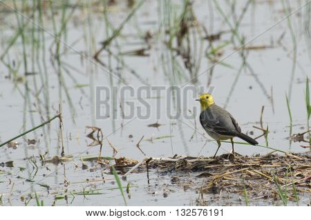 Yellow wagtail bird scientific name - Motacilla flava sitting on wetland ground. It is the early winter bird of India. Stock image shot at daytime West Bengal Kolkata India.