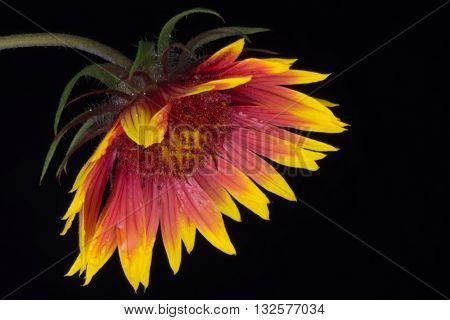Indian Blanket (Gaillardia pulchella) or Firewheel wildflower isolated against black background bowing
