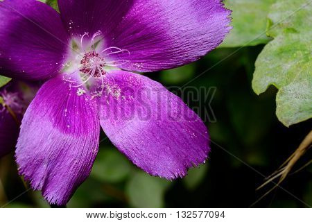Purple Winecup (callirhoe involucrata) open with Stamen and pollen