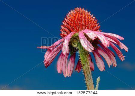 Pink Cone Flower (Echinacea purpurea) closeup against blue sky background