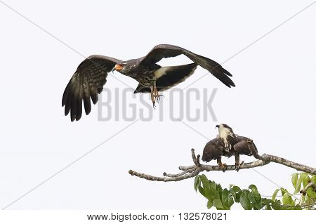 A juvenile male Snail Kite (Rostrhamus sociabilis) flies away after copulating with a female - Panama