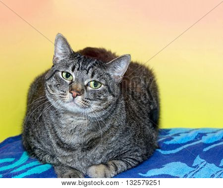 Black and gray striped tabby cat laying on a patterned blue blanket with textured pink and yellow background looking forward with head tilted