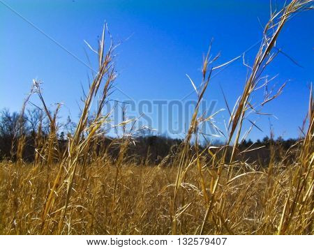 Golden weeds growing tall in a field with the blue sky above.