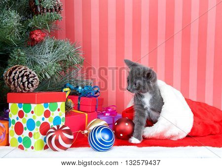 Gray kitten coming out of a red stocking next to a christmas tree with presents and ornaments strewn around the floor on red fuzzy floor striped red and off white background