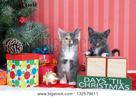 Calico and gray and white kittens next to christmas tree with colorful presents and holiday balls of ornaments next to Days until Christmas light beech wood blocks blank for your numbers