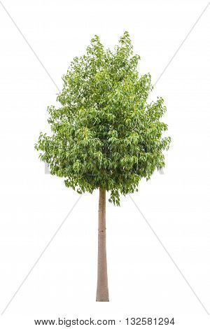 Green beautiful and young ficus tree isolated on white background