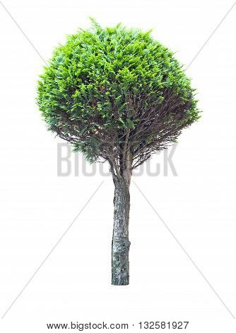tree thuja isolated on white. Close up