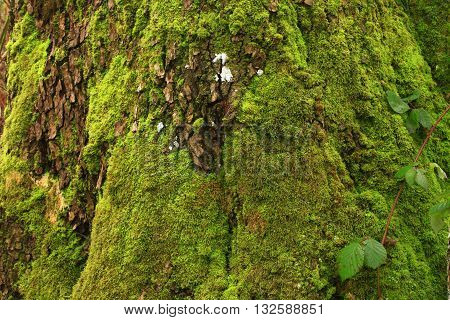 a picture of an exterior Pacific Northwest old growth Big leaf maple tree with moss