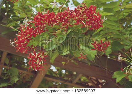 Quisqualis indica or Rangoon Creeper have red flower with green leaves with wooden frame as background in vintage style.