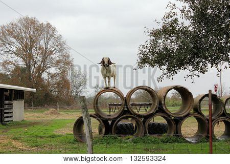 Anglo Nubian goat standing on concrete drainage pipes