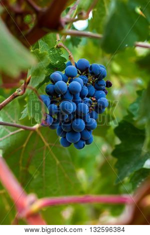 A plump bunch of grapes hangs on a vine in a vineyard.  The grapes are surrounded by thick, green leaves.