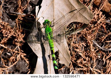 A large green Emperor dragonfly perches on a bed of dry leaves and pine bristles.