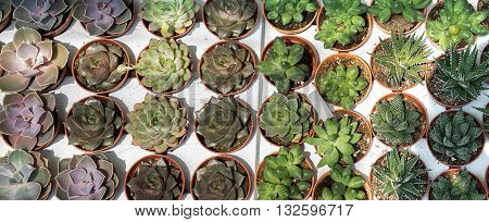 cactus is a member of the plant family Cactaceae within the order Caryophyllales