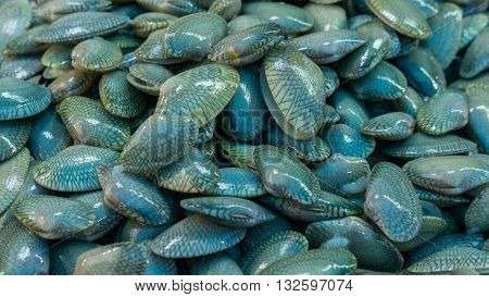 surf clam is a medium-sized marine clam or bivalve mollusc commonly found in the waters