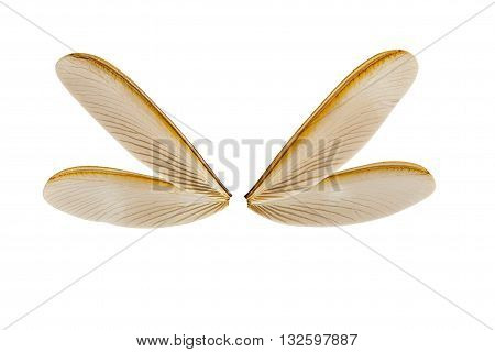 wing of flying termite isolated on white background with clipping path