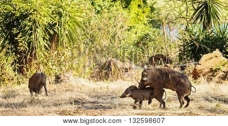 Mating Warthogs In Wild