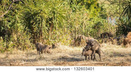 Warthogs Mating