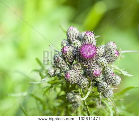 detail shot of some some fresh young thistle buds in green leavy ambiance