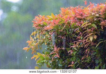 Pre-Monsoon summer heavy rains over the tropical garden..