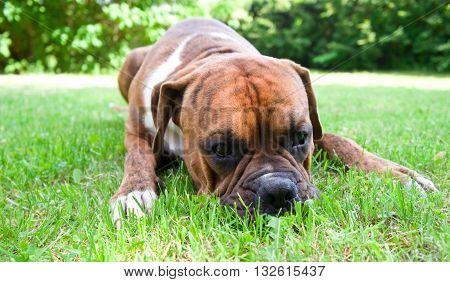 green, brown, trees, outdoors, one, nature, white, background, young, beautiful, summer, portrait, grass, funny, cute, color, black, breed, animals, dog, ill, seasons, grief, boxer, walks, melancholy, pedigreed, miss, strips