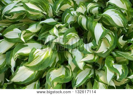 Hosta plant closeup, my garden decoration /