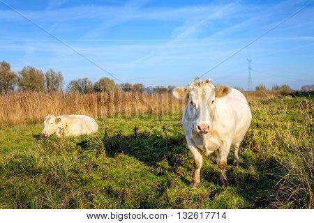 Two nearly white cows in a sunny autumn landscape. It's a windless day with contrails in the blue sky. In the background are power pylons.