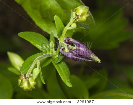 Flower buds and leaves of European or Common columbine Aquilegia vulgaris close-up selective focus shallow DOF