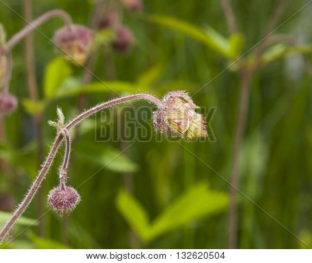 Water avens geum rivale fluffy flowers and buds on stem macro with bokeh background selective focus shallow DOF