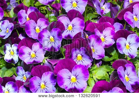 purple pansies in the summer sunshine (viola tricolor )