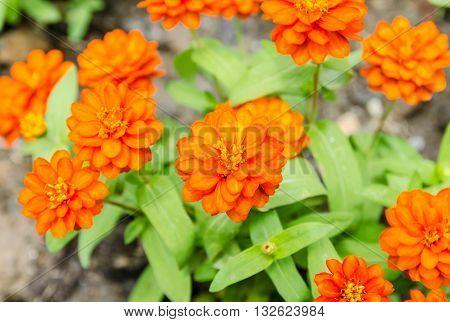 Beautiful Orange Zinnia flowers in the garden