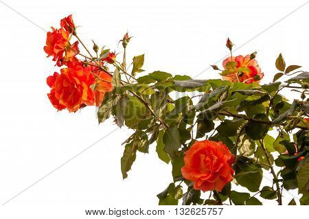 blossoming orange roses are isolated on a white background