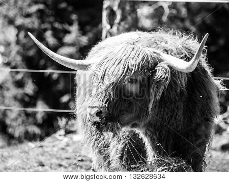 Scottish highland cow with long horns eats in the farm . Black and white image.