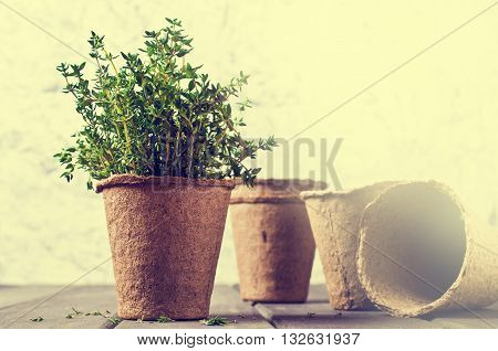 Sprouts fresh thyme in a peat pot on a wooden background. Selective focus.
