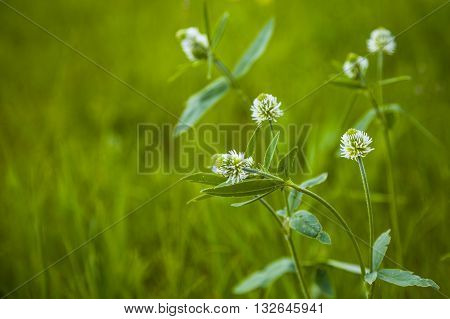 White flowers in a meadow close-up .
