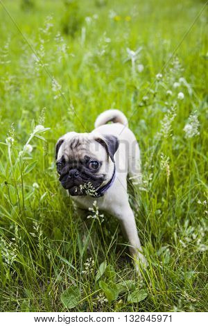 Small Puppy Pug  On The Green Grass