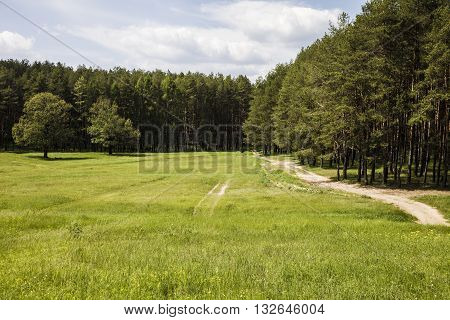 Pine forest in sunny summer day .