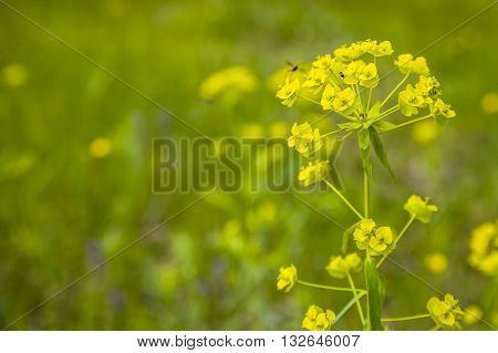 Yellow flowers in a meadow close-up .