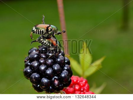 Japanese beetles mating while eating a ripe blackberries