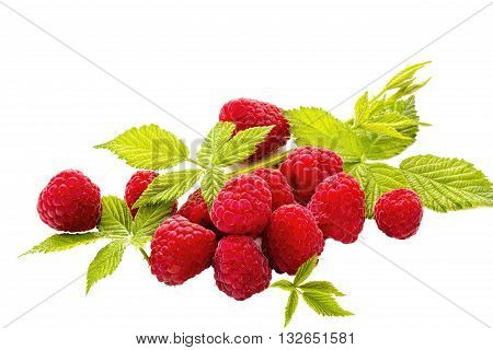 Fresh Ripe Red Raspberries amid Young Green Leaves Isolated on White Ground