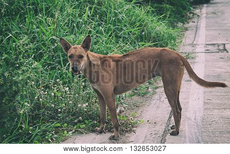 stray dog is breed native in Thailand.