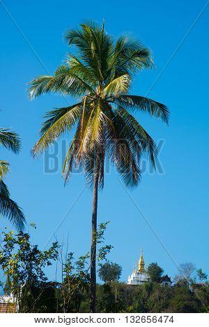 Palm.luang Prabang.laos.
