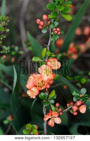 Quince flowers and buds closeup macro vertical