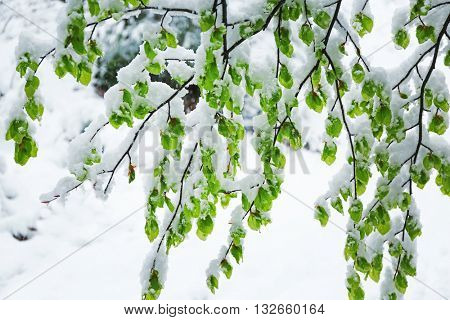 Branches of tree at wintertime