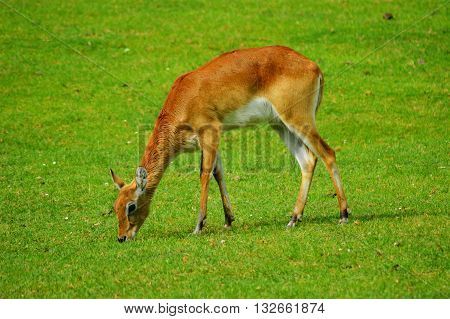 Female Lechwe (Kobus leche) eating grass in sunny day