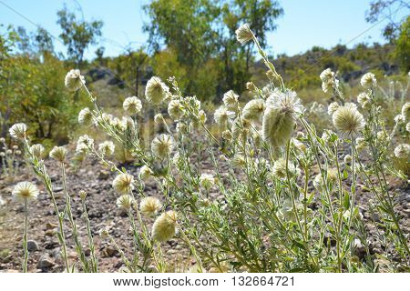Fluffy Feather heads (Ptilotus macrocephalus) in outback Australia